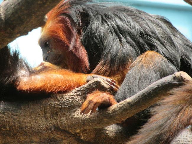 Emperor Tamarin Monkey Animal Themes Close-up Day Dog Indoors  Mammal No People One Animal Pets