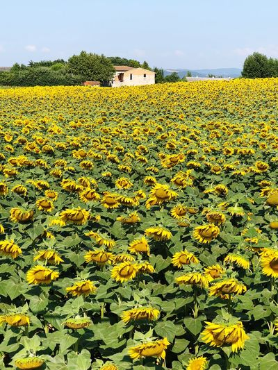 Sunflower Plant Yellow Flower Flowering Plant Growth Land Beauty In Nature Rural Scene