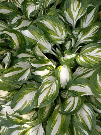 Funkien Backgrounds Full Frame Vegetable Close-up Green Color
