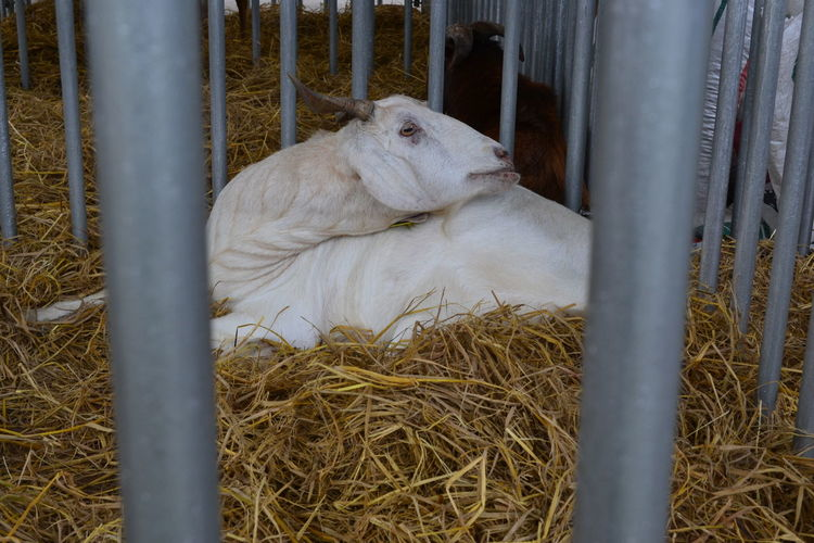 Animal Themes Cage Day Domestic Animals Farm Goat Mammal Nature No People One Animal Outdoors Pets