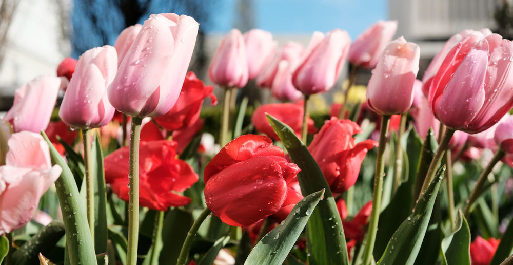 Tulips in the