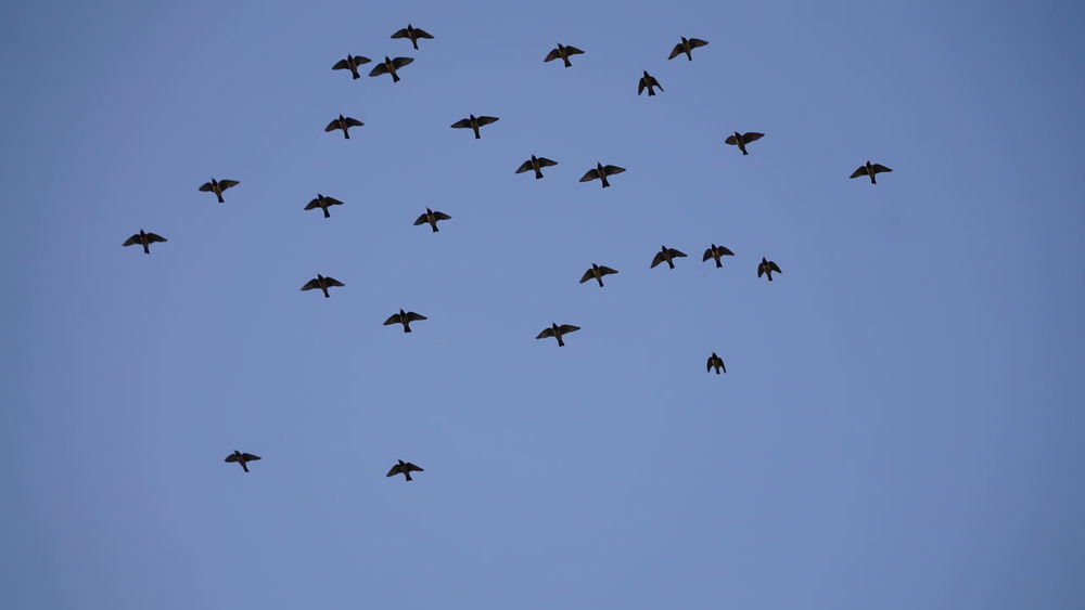 Animal Themes Animal Wildlife Animals In The Wild Beauty In Nature Bird Blue Clear Sky Day Flock Of Birds Fly High Flying Large Group Of Animals Low Angle View Mid-air Nature No People Nwin Photography Outdoors Sky Sony Sony A6000 Sonyalpha SonyAlpha6000