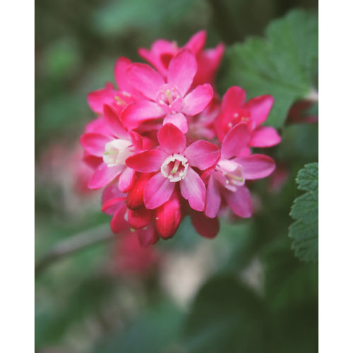 nature à l'état sauvage Flower Head Flower Pink Color Petal Close-up Plant In Bloom Pale Pink Blooming Plant Life Botany Cosmos Flower Single Flower Stamen Blossom EyeEmNewHere