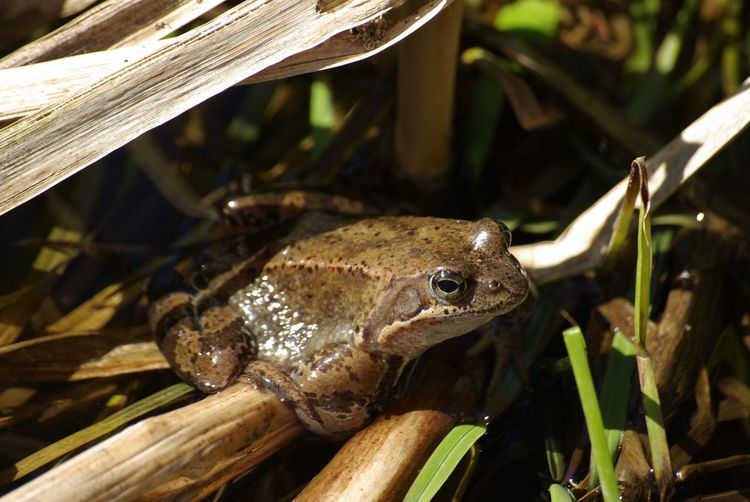Spring meditation Amphibian Animal Themes Animal Wildlife Animals In The Wild Beauty Nature Beuty Of Nature Close-up Day EyeEmNewHere Frog Frogs Growth Leaf Nature No People One Animal Outdoors Plant Pond Swamp