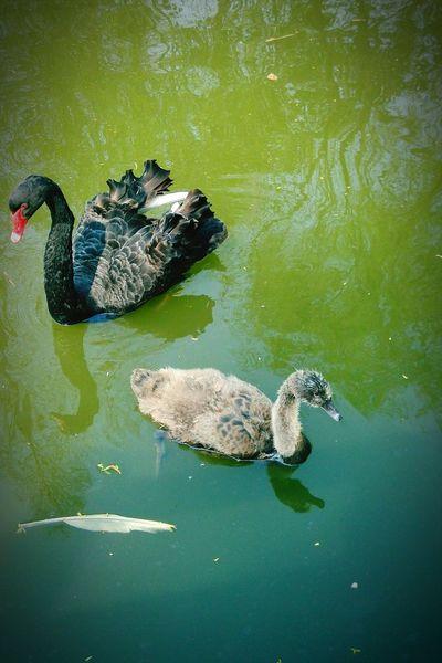 Ugly Duckling Black Swan Growing Up BelieveInYourDreams Helloword Enjoying Life Smile :)