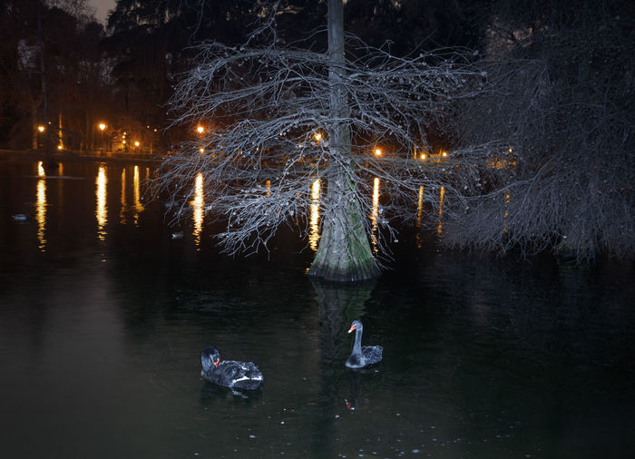 High Angle View Of Black Swans Swimming On Pond At Night