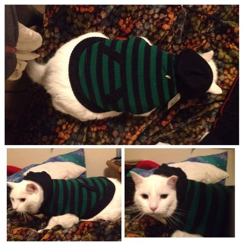 Got meatball a sweater.... He hates me at the moment. Kittysweater Grumpycat Meatballthecat Sweater Hehatesmyguts Poorkitty