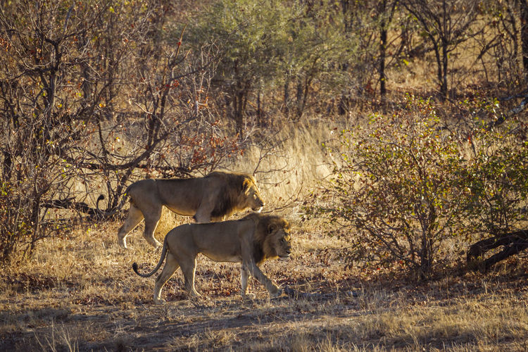 Lions walking on land in forest