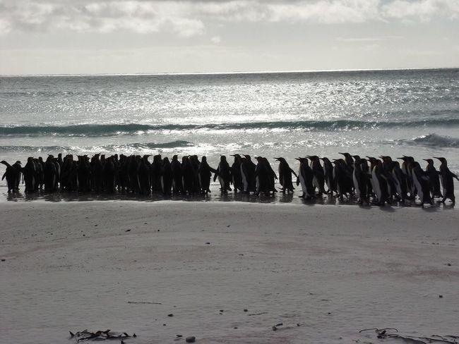 King Penguins - Falklands Falkland Islands King Penguins Sunset