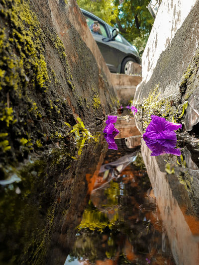 Close-up of purple flowering plants by rocks