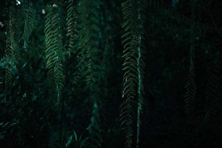 Close-up of pine trees in forest