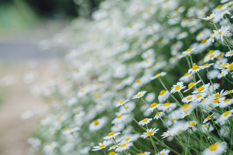 Chamomile Daisy Beauty In Nature Bright Close-up Day Flower Flowering Plant Focus On Foreground Fragility Freshness Green Color Growth Leaf Leaves Nature No People Outdoors Plant Plant Part Selective Focus Sunlight Tranquility Vulnerability