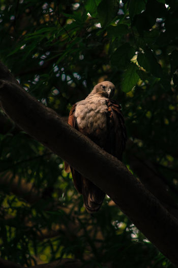 eagle eye Eagle Animal Themes Animal Wildlife Animals In The Wild Beauty In Nature Bird Bird Of Prey Branch Close-up Day Horizontal Leaf Nature No People One Animal Outdoors Perching Photography Tree