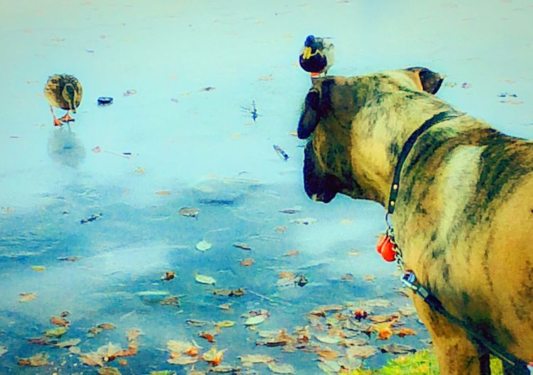 'Hunting Mode' Mastiffs Animals Of Eyeem Ducks Dog Going Into Huntingmodus No Person Animal Themes Dog Mammal Domestic Animals Water Icey❄ Walking On Water DUCKS :) Outdoors Nature URBd Nature Pets No People Afternoonlights Day Birds & Dog Quickshots My Year My View Winter Has Come KariJosefiné✨