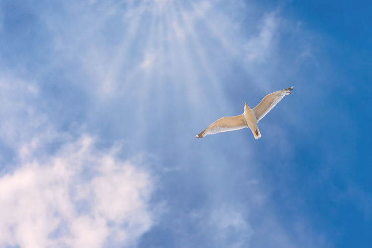 Animal Themes Animal Wildlife Animals In The Wild Bird Cloud - Sky Day Flying Low Angle View Mid-air Nature No People One Animal Outdoors Seagull Sky Spread Wings