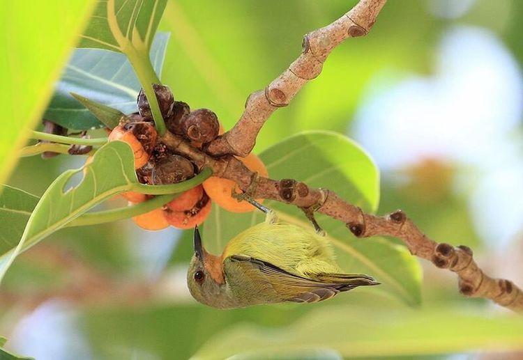 Ruby-cheeked Sunbird Bird Photography