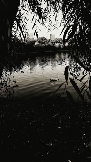 Check This Out Relaxing Relaxing Urban Lake Hanging Out Taking Photos Swan Lake Blackandwhite