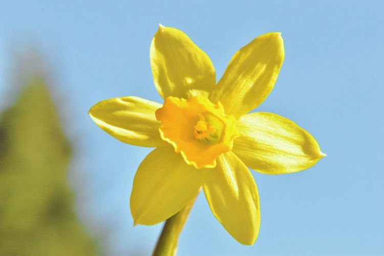 Close-Up Of Daffodil Blooming Outdoors