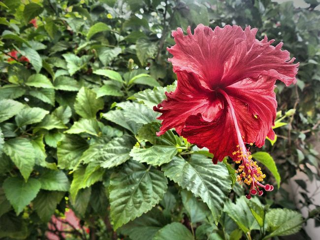 Malay hibuscus rosa-sinensis with hdr Bunga HDR Botany Garden Close-up Natural Red Flora Flower Outdoor Green Rosa-sinensis Raya Hibuscus National Malaysia Bunga Raya National Flower Macro Focus China Rose Chinese Hibiscus Background Outdoors Gardening