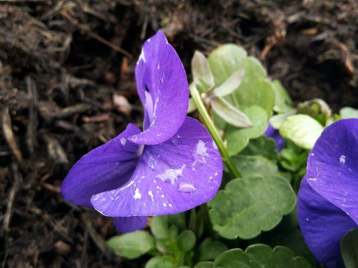 Beautiful Nature Purple Flowers Water Droplets Flowers Macro
