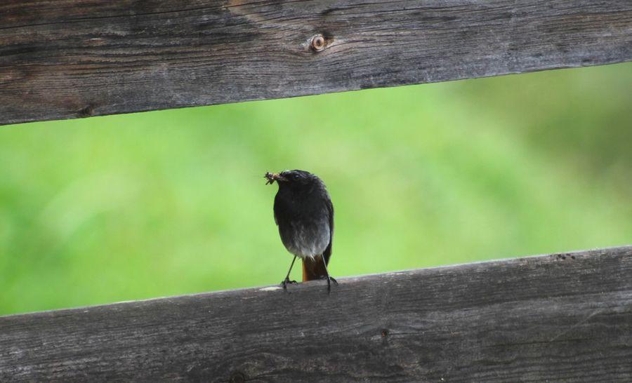 Black redstart Bird Outdoors Animal Wildlife Black Redstart Birdwatching Switzerland Kiental Naturfreunde Insects  Food Nest Male Forest Alps Mountain Feedingtime Nature Animals In The Wild Close-up