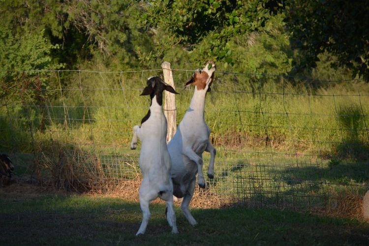 Goats Dancing