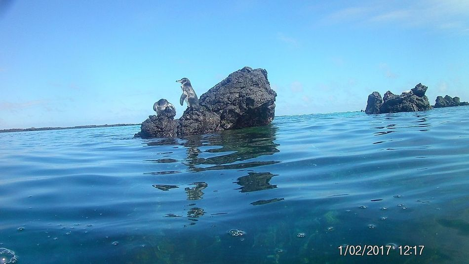 Galapagos penguin Penguin Sea Rock - Object Sky Outdoors Day Blue Water Nature Horizon Over Water Scenics Clear Sky Beauty In Nature