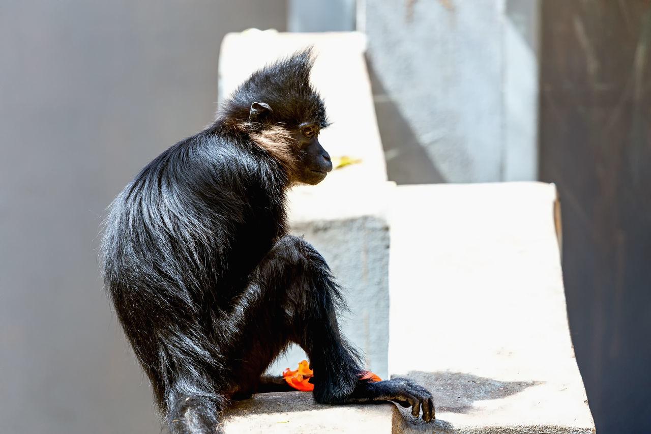 Side View Of Tamarin Monkey Sitting On Surrounding Wall