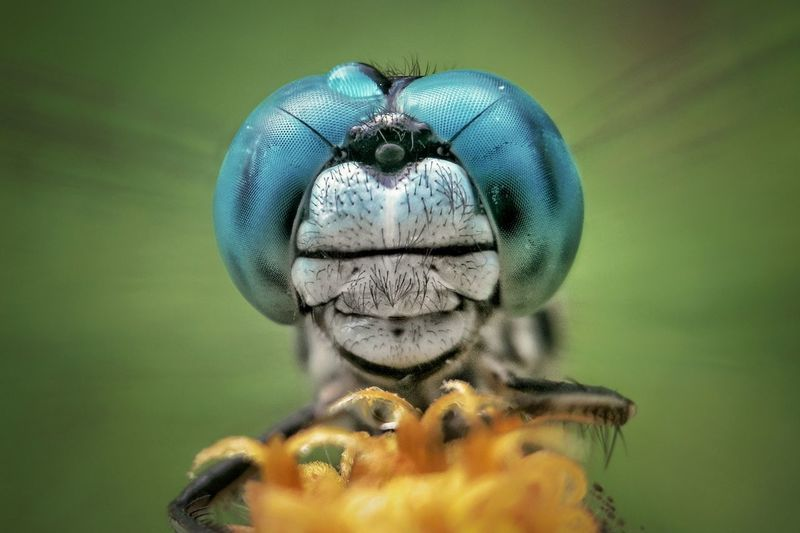 Face dragonfly