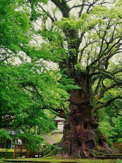 Okusu Of Kamo Age Of A Tree 1500 The Fresh Green Kamo City Kagoshima,japan