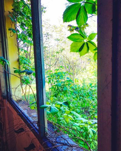 Growth Window Plant No People Day Green Color Leaf House Nature Ivy Outdoors Tree Building Exterior Architecture Beauty In Nature Close-up