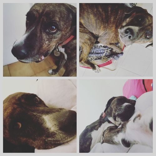 ZebraGirl Zebra♥ Dog Pets Collage Domestic Animals Animal Puppy No People Day Lovelydog 🐶 Animal Themes Multiple Image Doguecanario EyeEmNewHere