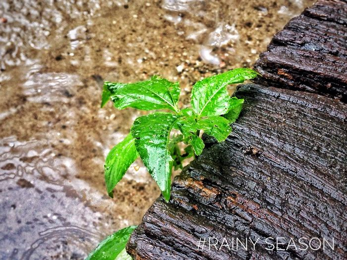 #Leaf_in_Rainy_season #Mobile_Photography