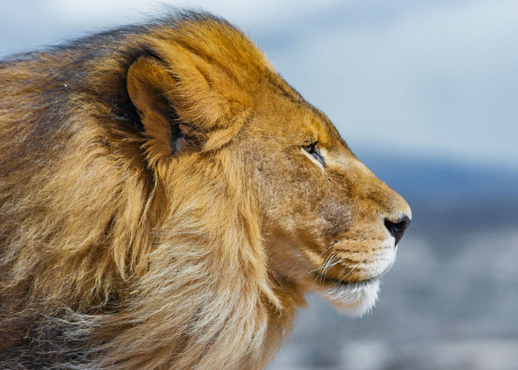 Lion Animal Animal Head  Close-up Feline Lion - Feline No People One Animal Profile View Side View Whisker