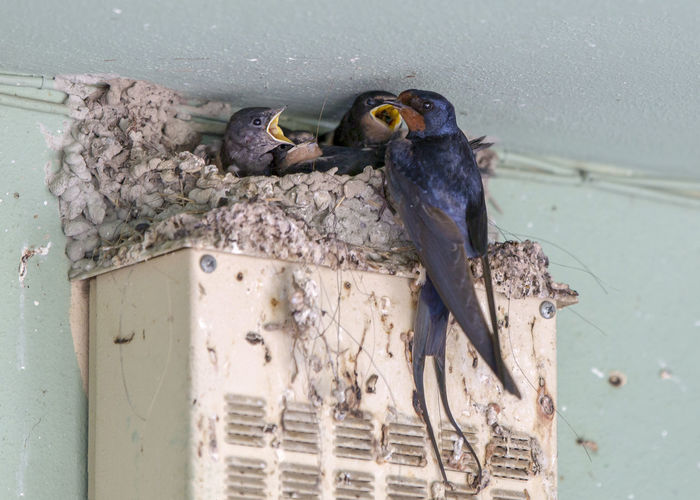 Swallow and