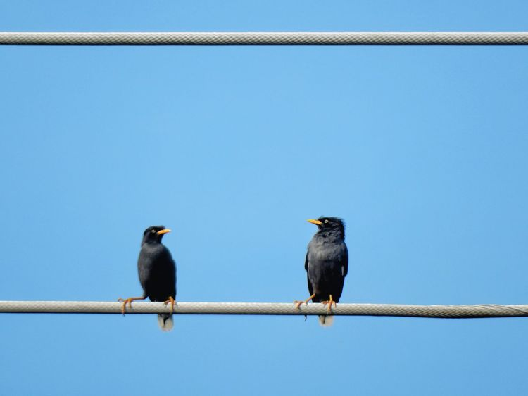 Animal Wildlife Bird Animals In The Wild Animal Themes Perching Clear Sky No People Outdoors One Animal Day Sky Nature Cold Temperature Myna Electric Wire