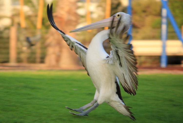 Pelican landing on field