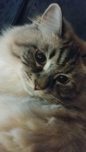 Cat Siberian
