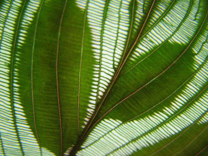 Leaf Plant Part Green Color Palm Leaf Palm Tree Nature Plant Close-up No People Backgrounds Tropical Climate Tree Beauty In Nature Leaf Vein Full Frame Growth Natural Pattern Frond Freshness Day Outdoors Leaves Abstract Abstract Backgrounds Aleq