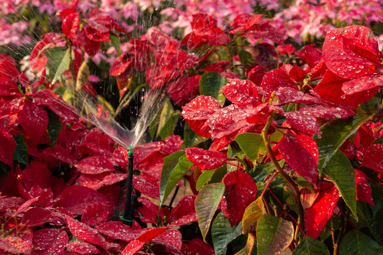 Close-up of wet red leaves on plant during autumn