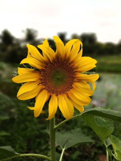 Beauty In Nature Close-up Day Flower Flower Head Flowering Plant Focus On Foreground Fragility No People Outdoors Plant Plant Part Sunflower Yellow