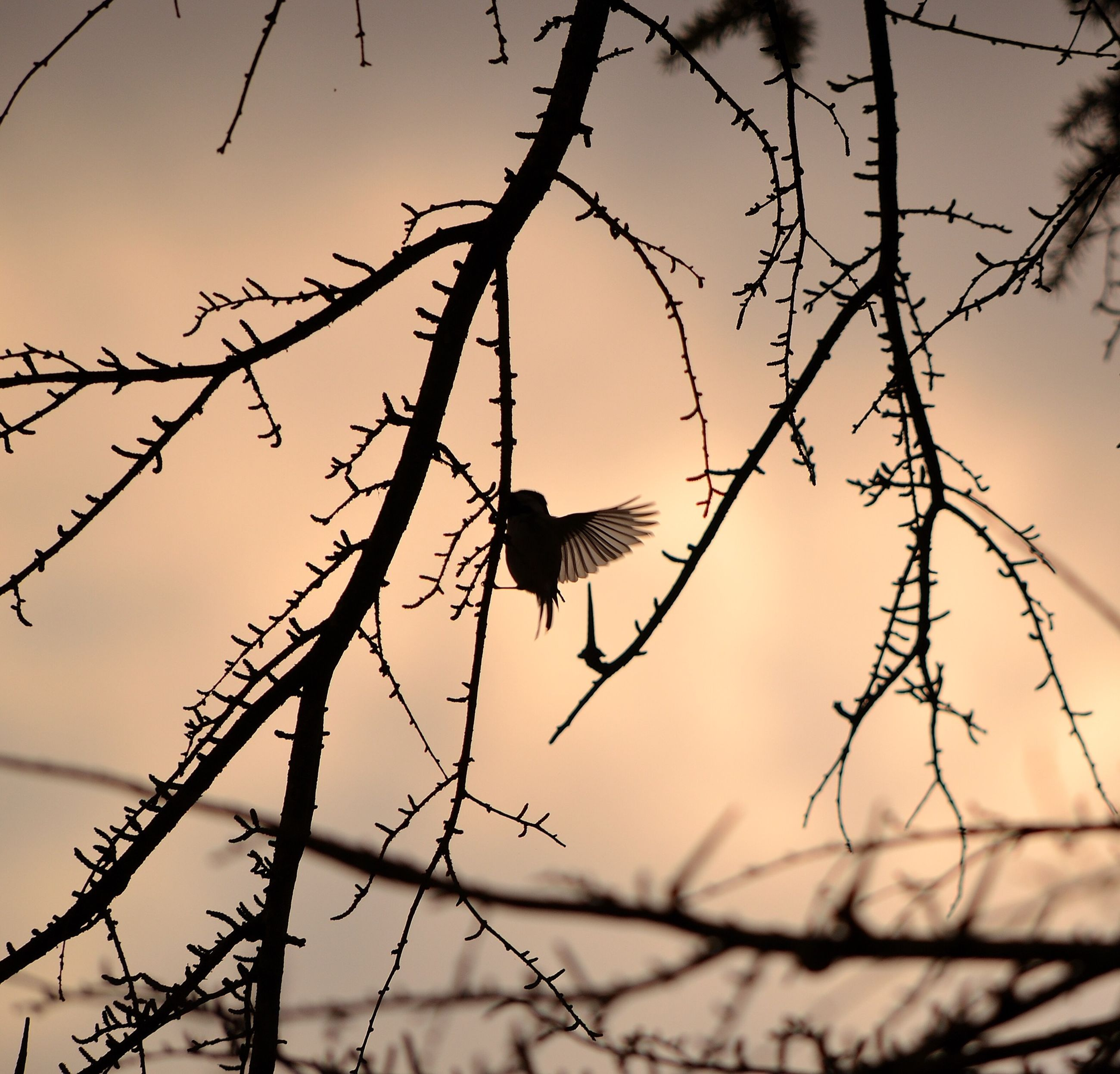 bird, animal themes, animals in the wild, wildlife, perching, one animal, branch, silhouette, bare tree, focus on foreground, nature, sky, twig, low angle view, tree, outdoors, sunset, barbed wire, no people, tranquility