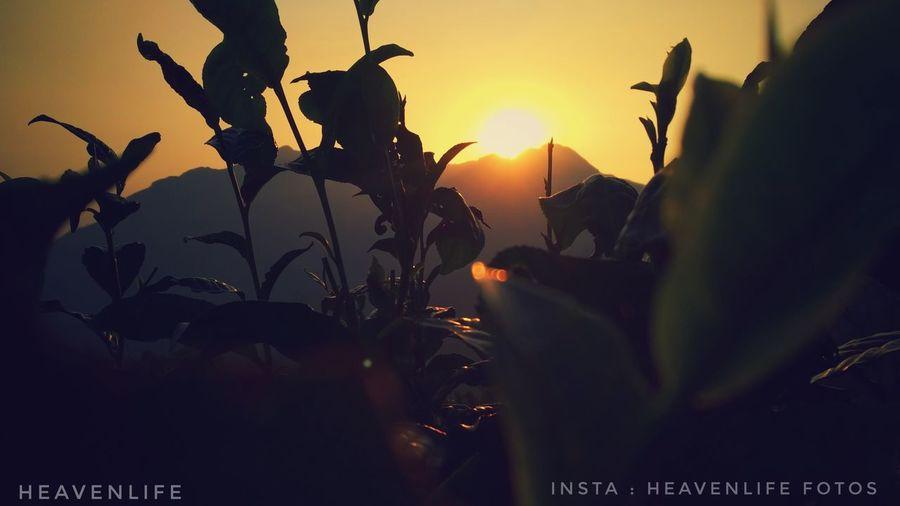 Sun set, golden hills Sunset Hills LoveNature #Goldensunset Teaplantation Ponmudihills Nature Mobilephotography Mobile Photography EyeEmNewHere Sunset Tree Flower Silhouette Sky Close-up Plant Plant Life