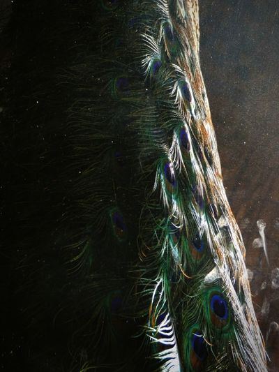 peacock feathers as it's inside a glass box giving a illusion of being in water Animal Illusion Mind Trick Shadow Sunset Sun Glow Colors Bird Feather  Dramatic Stunning Fishing Tackle Fishing Net Shining Sunbeam Focus On Shadow Long Shadow - Shadow Orange Color Optical Illusion