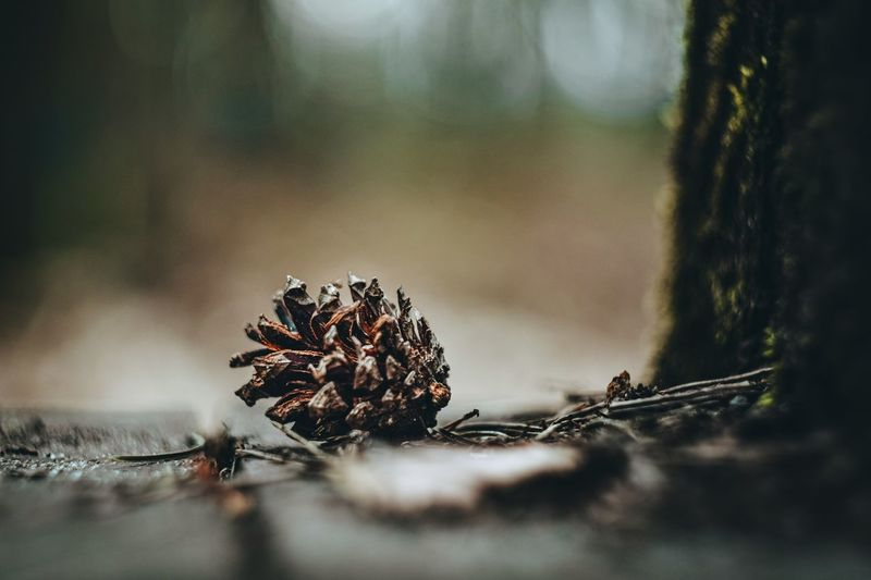 Close-up of pine cones on tree trunk