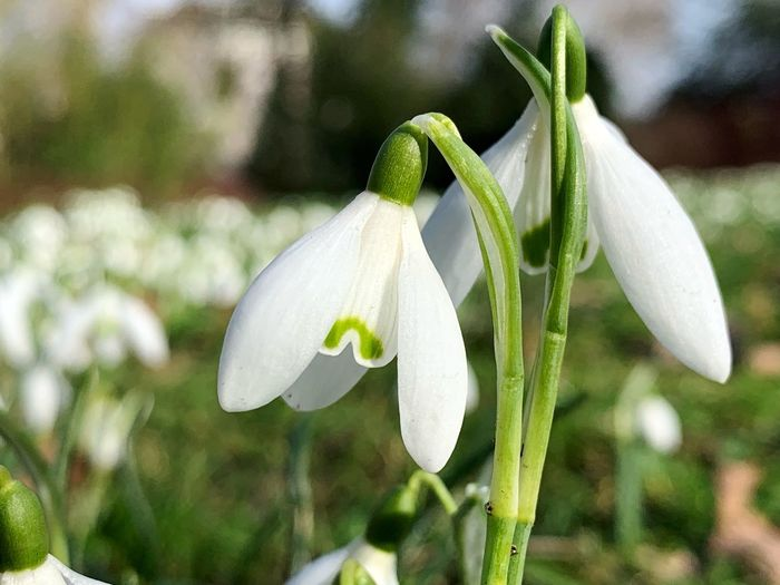 Flower Plant Growth Flowering Plant Vulnerability  Fragility Freshness Beauty In Nature Petal Close-up Focus On Foreground Snowdrop Flower Head White Color Inflorescence No People Day Nature Green Color Plant Stem
