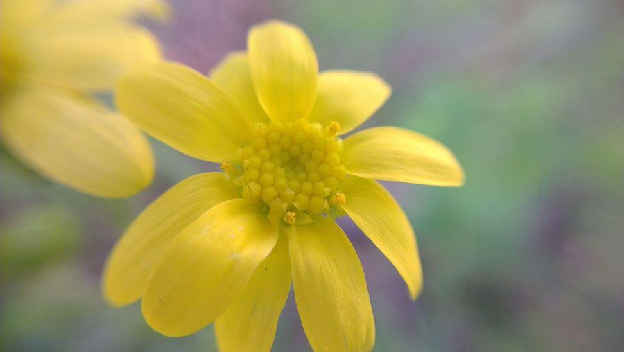 Flower Yellow Flower Yellow Macro Macro_collection Taking Photos Fleur Fleur Jaune Check This Out Nature Nature Photography Mobile Photography Flower Phonephotography