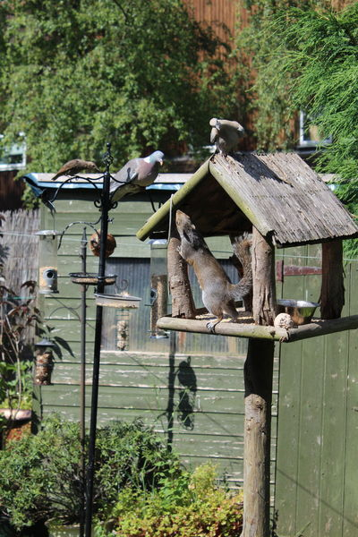 Animal Themes Bird Table Collared Dove Curious Birds Day Feeder Garden Birds Intruder  Mammal Nature No People Outdoors Squirrel Starling Fledgling Unwelcome Guest Wood Pigeon