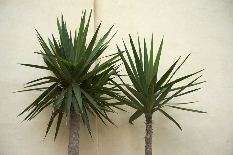 Palm Palm Against Wall Palm Tree Palms Plant Against Wall
