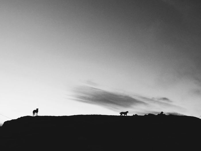 Silhouette dogs on field against sky